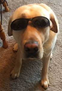 Picture of Guide Dog Bryce Krispy wearing sunglasses!